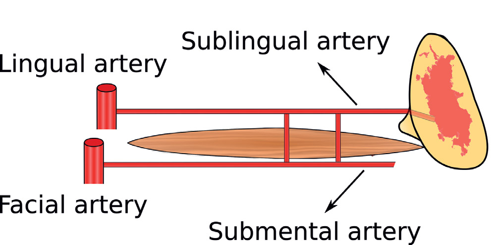 Review Of The Arterial Vascular Anatomy For Implant Placement In The